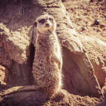 Suricate portrait standing on barren land near dry tree trunk looking into the camera