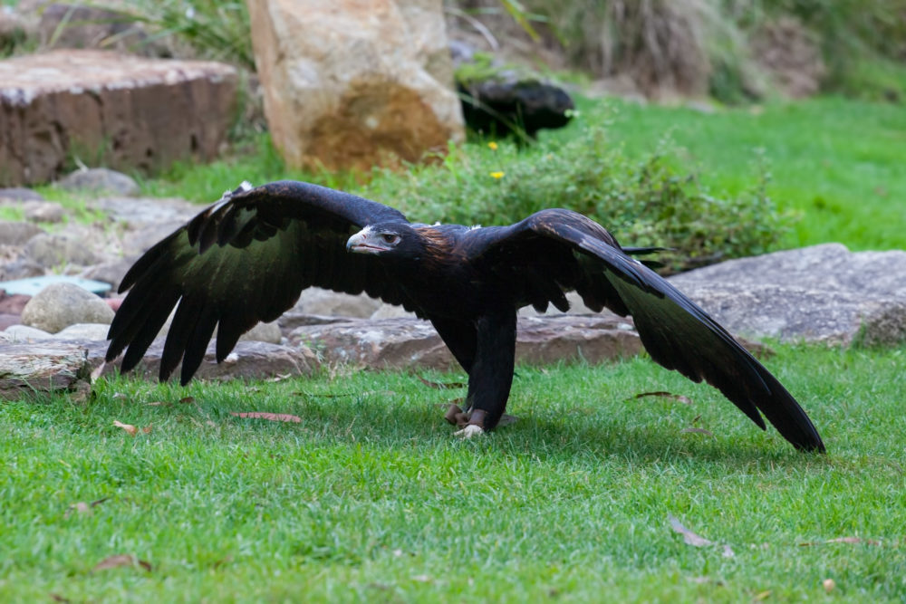 Wedge tailed Eagle spreading huge wings