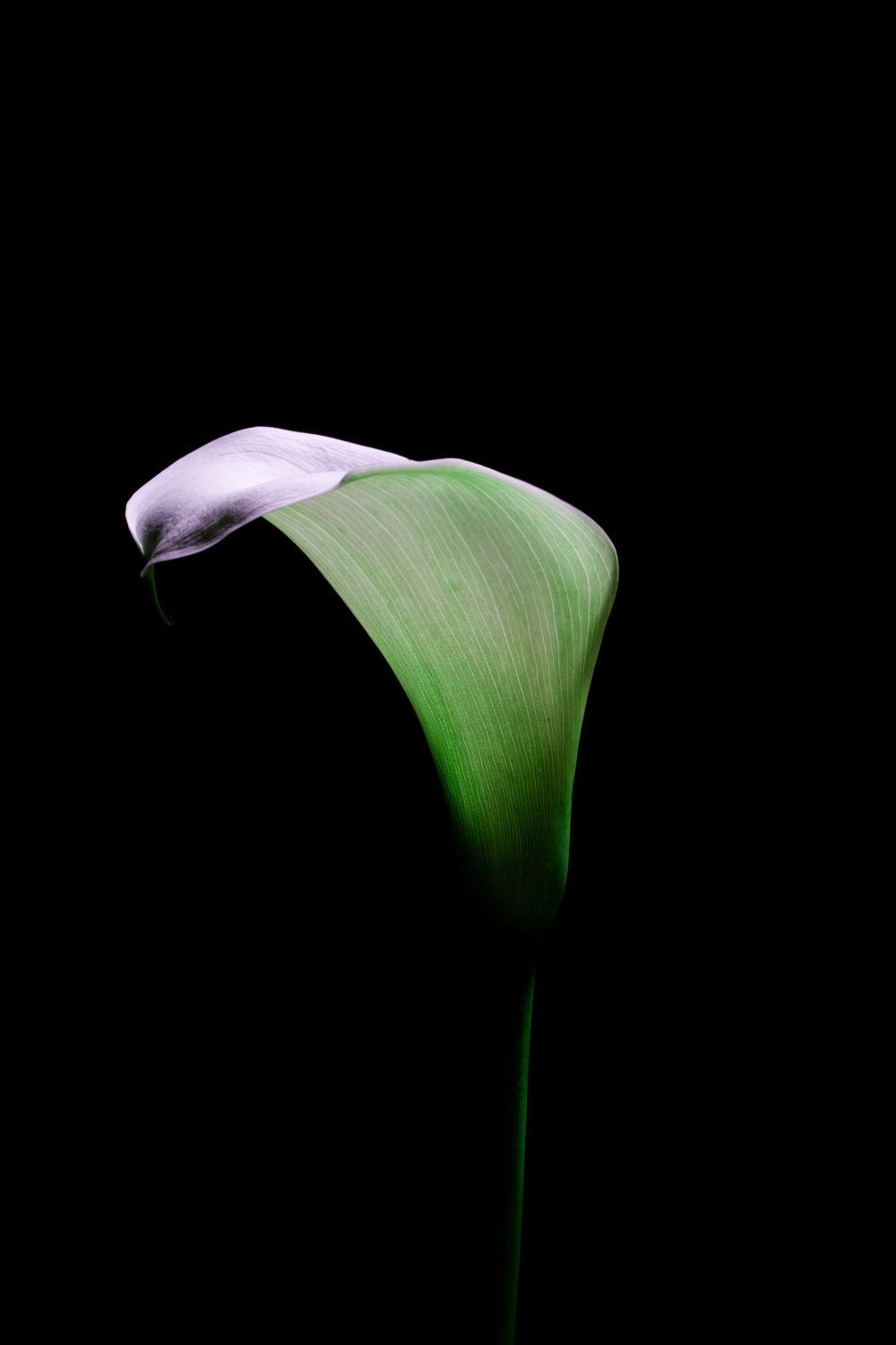 Delicate Calla lily glowing in the dark