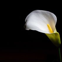 Glowing Calla lily isolated on black with copy space
