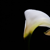 Tender white Calla lily glowing on black background