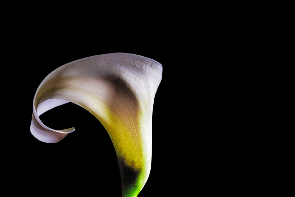 Light and shadow play on white Calla lily flower isolated on black background with copy space