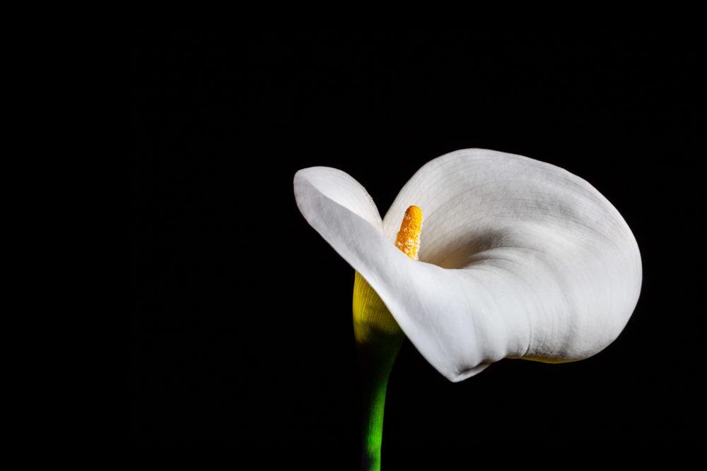 Delicate white Calla lily on black background