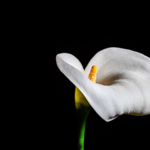 Delicate white Calla lily on black background
