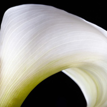Calla lily flower extreme closeup on black background with copy space