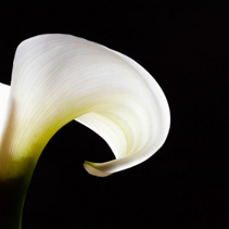 White wave - Calla lily flower isolated on black with copy space