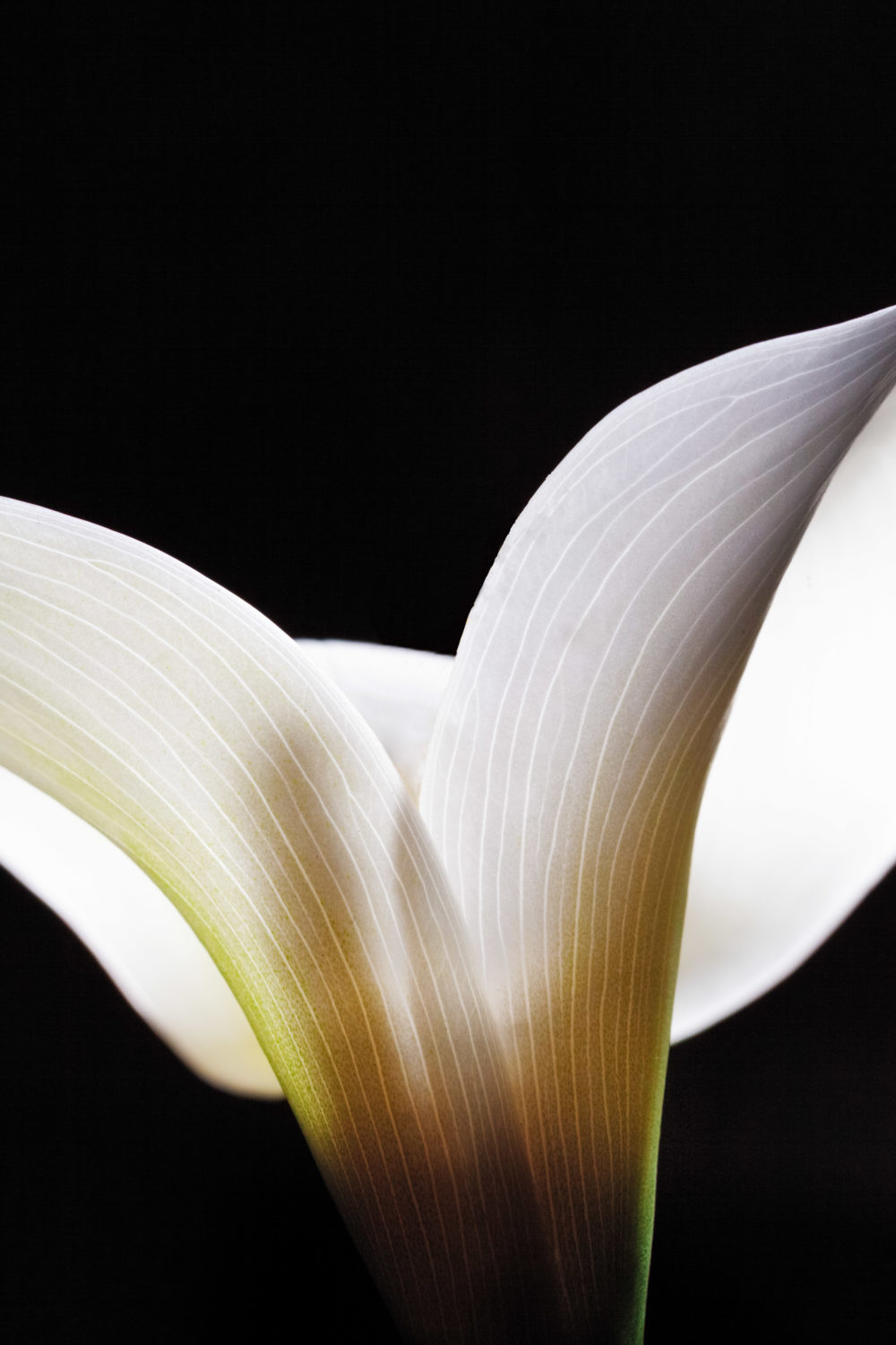 Closeup of white Calla lily flower
