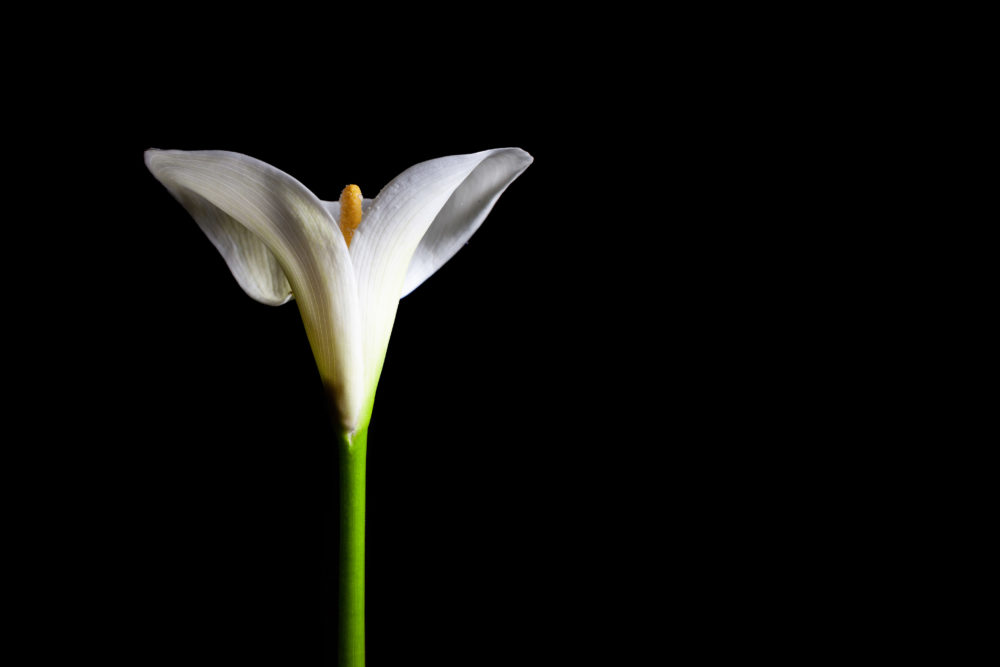 Calla lily isolated on black with copy space