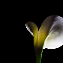Calla lily glowing with light on black background with copy space
