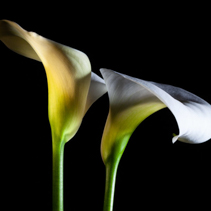 Two Calla lilies glowing closeup on black background with copy space