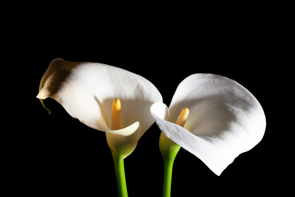 Two white Calla lilies on black background - top view