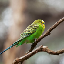 Budgerigar - song parrot perching on tree branch closeup