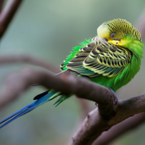Budgerigar - song parrot perching and sleeping closeup.