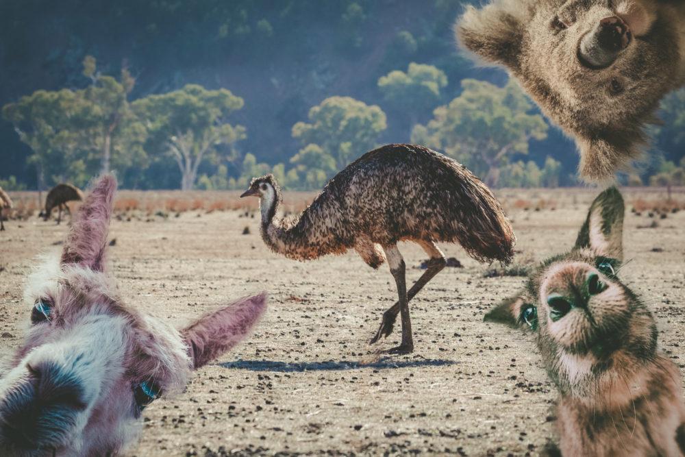 Collage of animals living in Australia